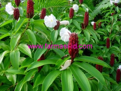 Pacing Costus speciosus J. Sm